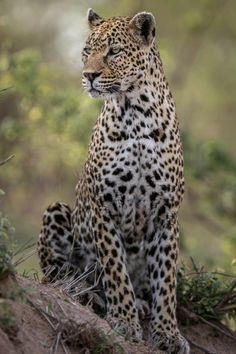 Pumas, Animal Pictures, Cool Pictures, Bass Fishing Shirts, Panthera Pardus, Amur Leopard, African Animals, Cat Life, Big Cats