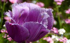 Tulip Tulip purple tulip flower wide screen D HD high