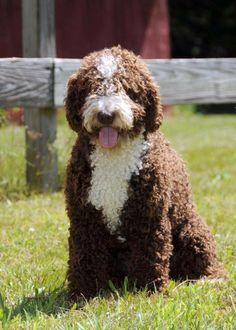 perro de agua espa ol animales pinterest spanischer wasserhund spanisch und hunde. Black Bedroom Furniture Sets. Home Design Ideas