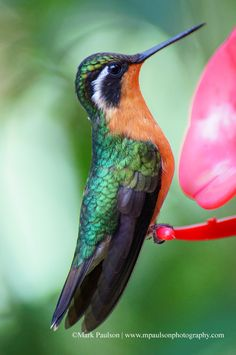 Photo of the Day: Grey-tailed Mountain-gem, Costa Rica