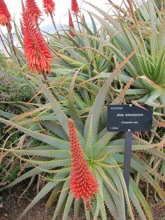 Arizona Gardening, Winter Flowers, Cacti And Succulents, Aloe Vera, Perennials, Cactus, Wikimedia Commons, Landscape, World