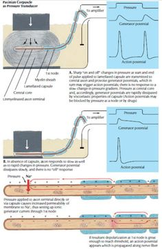 Cutaneous Receptors: Pacinian Corpuscle - Health, Medicine and Anatomy Reference Images