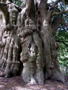 This yew tree is hundreds of years old. The trunk is enormous, but becoming hollow now.