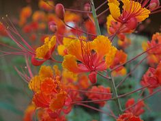 Red Bird of Paradise plant