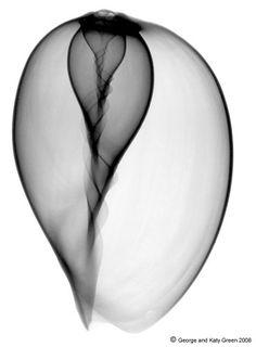 https://flic.kr/p/4o7CRw | Melon Shell or Baylor Shell Positive Xray Image…