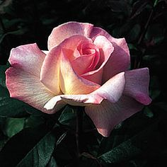 Pristine - Hybrid Tea - Perfectly formed white flowers, delicately tinted with blush; contrasting well with ample dark foliage. Robust and very fragrant. 3 ft.