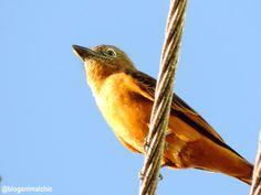 Gibão-de-couro (Hirundinea ferruginea) fotografado em São José do Rio Pardo/SP em Maio/14.