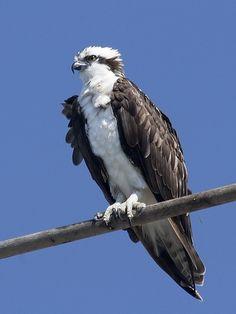 El águila pescadora o halieto (Pandion haliaetus) es una especie de ave accipitriforme de la familia Pandionidae.