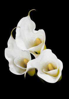 Few fresh cut flowers offer the elegance and versatility of the calla lily. If you are designing your own wedding bouquet, centerpieces or arrangements, the calla lily will provide all of the style… Amazing Flowers, My Flower, White Flowers, Flower Power, Beautiful Flowers, Elegant Flowers, Calla Lily Flowers, Tulips, Trees To Plant