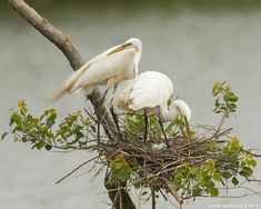 Planned Parenthood. Great Egrets nesting with eggs. Smith Oaks Rookery, High Island, Texas