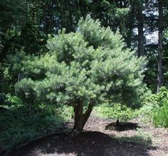 Pinus sylvestris Nana: Scotch Pine has bluish-green to green foliage which usually turns yellowish green in winter. Orange bark on the trunk and major limbs peels in papery flakes, and is visible through the canopy. Landscaping Plants, Front Yard Landscaping, Dwarf Trees, Video Chat, Plant Catalogs, Evergreen, Canopy, Garden Design, Nursery