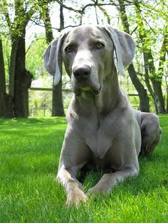 Weimaraner Sunning by bobandsue, via Flickr