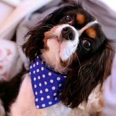 Rupert the Cavalier Puppy looking fab in his Royal Blue 'Dotty Dude' bandana by Dudiedog Bandanas.