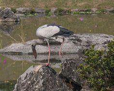 2014 Photograph, Asian Openbill Stork (Anastomus oscitans), King Rama IX Royal Park, Prawet, Bangkok, Thailand, © 2014.  ภาพถ่าย ๒๕๕๗ นกปากห่าง สวนหลวง ร.๙ เขตประเวศ กรุงเทพฯ ประเทศไทย