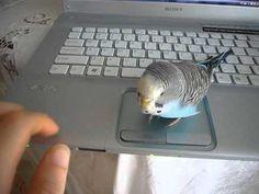 Parakeet Morse Code Morse Code, Parakeet, Coding, Parakeets, Programming