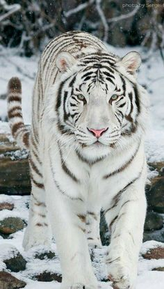 Big Cats - White Bengal tiger - title Snow Walker - photographer Sergei Gladyshev