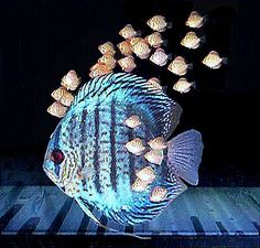 Fish Species n.3 - Discus (Symphysodon discus) - Feast Eyes