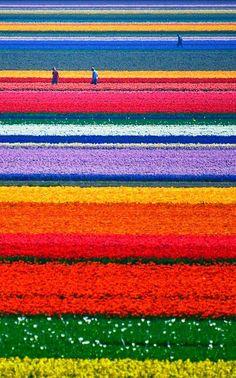 Tulip Fields, Netherlands. Pasar por estos campos es como caminar dentro de un cuadro, algo único