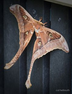 "The Hercules Moth lives in tropical rainforests of north-east Queensland and New Guinea. It is Australia's largest moth, it has a wingspan of about 27cm (10in) with a longer wing ""tail"" in the male. Females lay about 80-100 eggs on a choice of about eight rainforest tree species. The blue-green caterpillars grow up to 10cm (4in) long"
