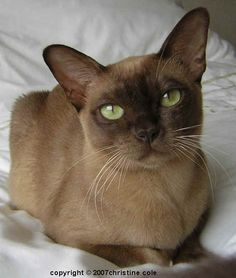 Burmese Cats are the best combination of pet...described as 'dog' cats they are highly intelligent, trainable and very dependent on their 'owner'. They can be possessive and highly strung, but a relationship with this cat is unlike any other!