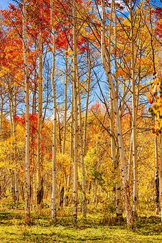 ☀Aspen Fall Foliage Portrait Red Gold And Yellow by James Bo Insogna*