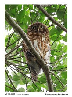 斑頭鵂鶹	Asian Barred Owlet	(Glaucidium cuculoides), by Ray Leung