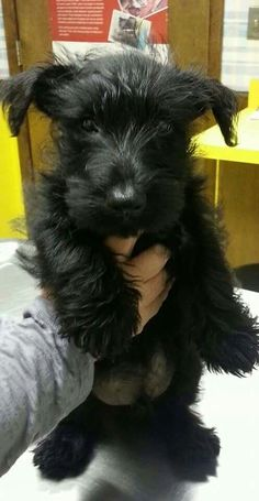 Mr. Winston Scottish Terriers, Cairn Terrier, Terrier Dogs, I Love Dogs, Puppy Love, Cute Dogs, Doggies, Dogs And Puppies, Reggie Bush