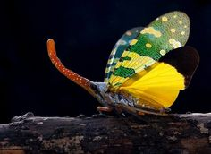 Os unicórnios do mundo dos insetos. Também conhecidos como inseto-lanterna, alimentam-se de seiva plantas. Apesar do nome não emitem luz. Foto: adegsm@