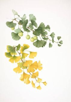 Image result for ginkgo leaves drawings