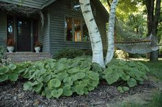 one of my all time favs--wild ginger pic courtesy of prairie moon nursery