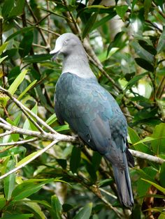 Marquesan imperial pigeon