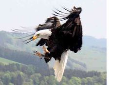 Bald eagle Eagle Pictures, Wings Like Eagles, Most Beautiful Birds, Tattoo Project, Big Bird, Exotic Birds, Birds Of Prey, Animals Of The World, Wild Birds