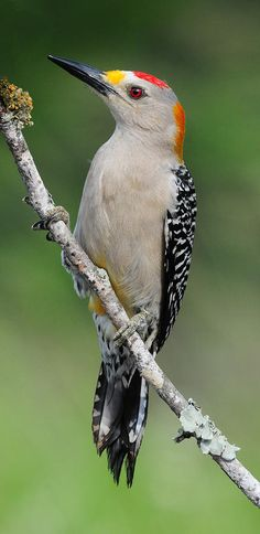 Golden Fronted Woodpecker By Dave Mills