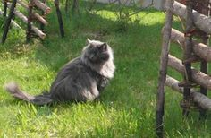 Siberian cat Dina. Its seriously sharon's twin!!