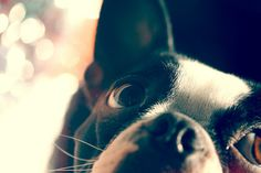 ♥ Boston Terrier