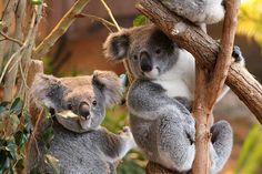 Les Koalas de #Beauval n'y croient pas... Mais c'est bien vrai ! Le Zoo de Beauval est le Meilleur Parc Zoologique de France :D  Un autre zoo du #ValdeLoire est dans le Top5 ! Découvrez le classement complet ici -----> http://www.my-loire-valley.com/2014/08/beauval-doue-la-fontaine-top-10-zoos-france/