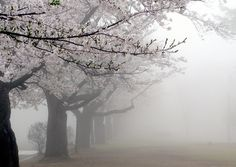Aesthetic sakura mist