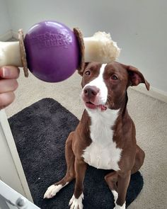 Freya loves her #petsafe #busybuddy ,  it's a great busy toy and perfect for dogs who need to work their brains and jaws. #rescuedog #adoptdontshop #allamericandog #dogsofinstagram #dog #pawsnstone #givemethattoy