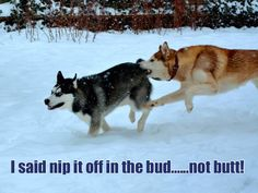 """Bud/Butt they're both """"biteable!""""  Siberian Huskies chasing each other through the snow."""
