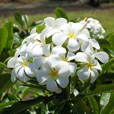 I miss our plumeria tree! It had such perfect and rounded petals like this!