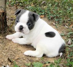 My babygirl ! Boston Terrier, Cute Pictures, Dogs, Animals, Boston Terriers, Animales, Animaux, Pet Dogs, Doggies