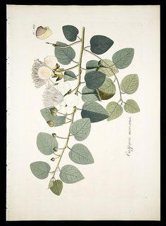 v.1 - Plantarum rariorum horti caesarei Schoenbrunnensis descriptiones et icones - Biodiversity Heritage Library