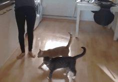 ネコのジャンプ力の高さを見せつけてやるんよ( +・`ー・´)