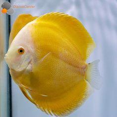 Millenium Golden Diskusfisch