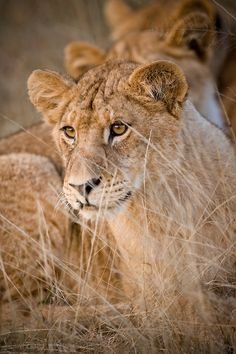 Juvenile Lion cubs (Panthera leo) in the dry grass, Moremi Game Reserve, Botswana, Africa by Andrew Sproule