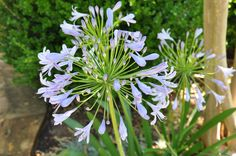 Perennial Agapanthus Lily of the Nile (almost ready) - June 3, 2012
