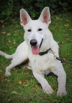 3 / 3     Petango.com – Meet Oscar, a 2 years 1 month German Shepherd available for adoption in IONIA, NY Contact Information Address  PO Box 120, IONIA, NY, 14475  Phone  (555) 555-5555  Website  http://www.bdbh.org  Email  bigdogsbigheartsrescue@gmail.c om