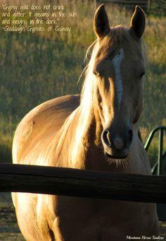 Horse - Montana Horse Trailer's Jack, Gypsy Gold
