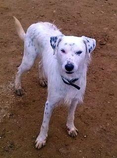 Pongo llegó a nosotros rescatado de la perrera, allí llevaba semanas y su plazo se acababa….  Pongo... #adoptar #mascotas #adopcion #perros #gatos