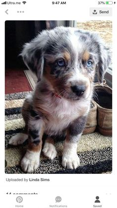 aww, too adorably cute, australian shepherd Cute Baby Animals, Animals And Pets, Funny Animals, Cute Puppies, Cute Dogs, Dogs And Puppies, Aussie Puppies, Mini Aussie Puppy, Teacup Puppies